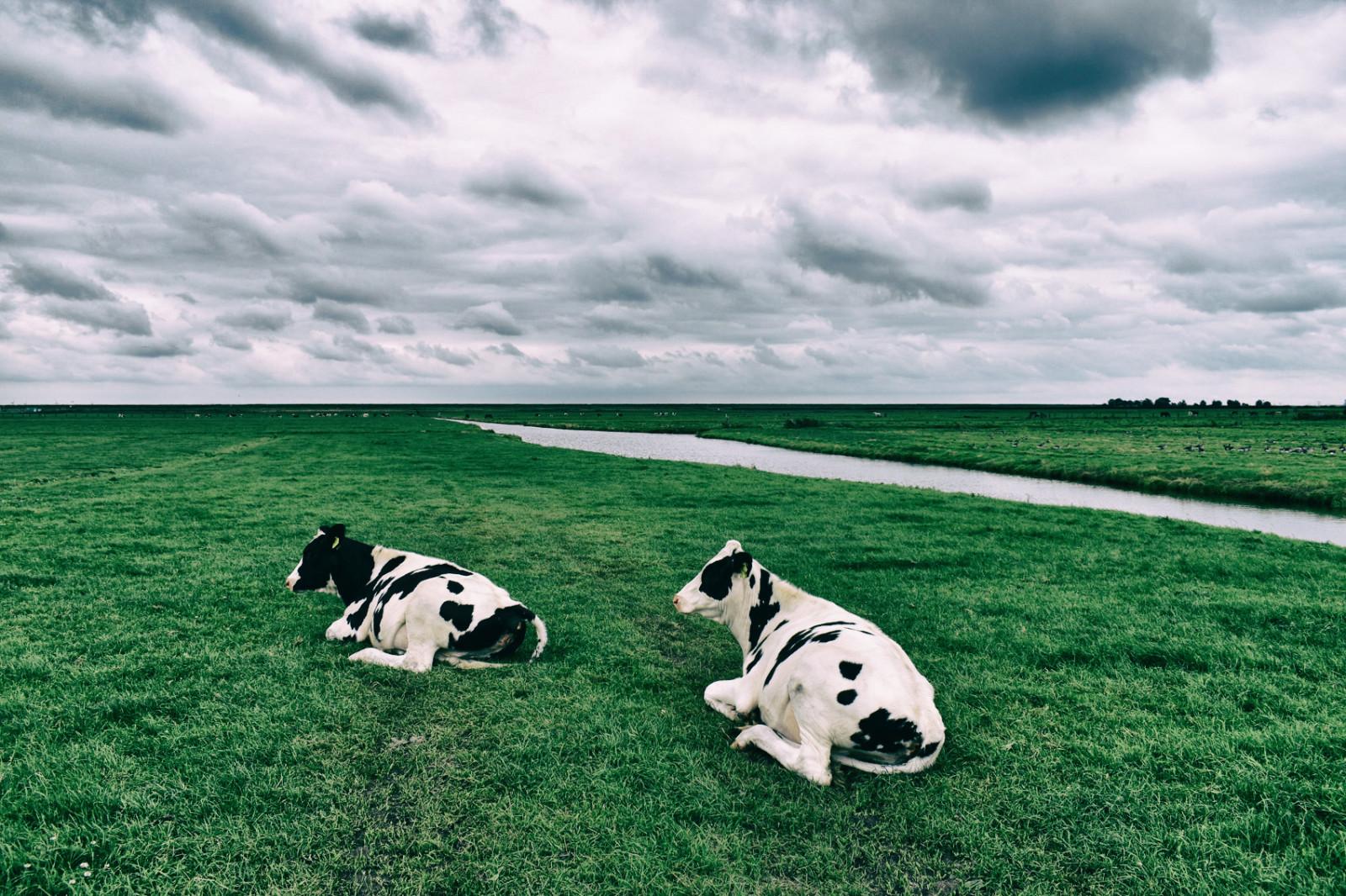 dutch-cheese-cows-meadow